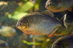 Мифы окружают красные piranhas Стоковая Фотография RF