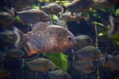 Мифы окружают красные piranhas Стоковые Изображения RF