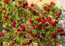 Милан, балкон с красными розами Стоковое фото RF