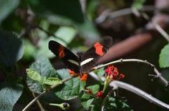 Милая бабочка почтальона сидя на цветке в саде Стоковая Фотография RF