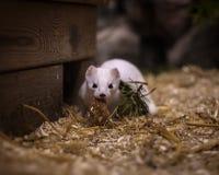 Милая белая ласка на малом домашнем зоопарке стоковые изображения