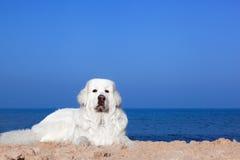 Милая белая собака на пляже Отполируйте Sheepdog Tatra стоковое изображение
