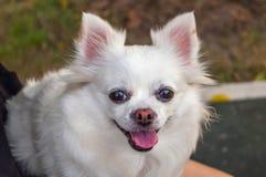 Милая белая собака чихуахуа с языком вне похожая на Улыбка сторона Стоковые Изображения RF