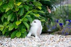 милая белизна кролика Стоковое Изображение