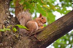 Милая белка есть на ветви дерева Стоковая Фотография RF