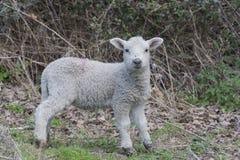 милая весна овечек Стоковая Фотография