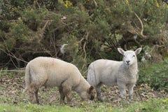 милая весна овечек Стоковая Фотография RF