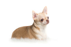Милая взрослая собака чихуахуа лежа вниз на белом половике на белом ба Стоковые Фото
