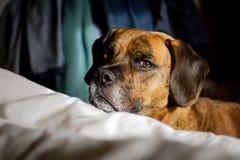 Милая дерзкая собака смотря камеру Стоковые Фотографии RF