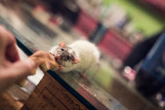 Милая еда крысы Стоковые Изображения
