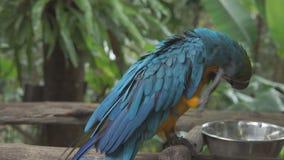 Милая желтая и голубая птица попугая ары отдыхая на ветви акции видеоматериалы