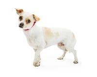 Милая застенчивая собака Crossbreed чихуахуа Стоковые Фото