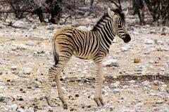 милая зебра осленка Стоковое Изображение RF