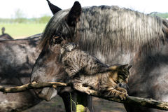Милая игра кота tabby с старыми лошадями на загородке загона Стоковое фото RF