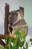 Милая коала отдыхая на зоопарке, Брисбен, Австралия стоковое фото rf