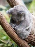 Милая коала спать, Австралия Стоковое Изображение RF