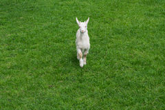 Милая коза младенца goatling молодой зеленый фронт травы луга стоковые фото
