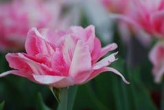 Милая конфета Striped бледное - розовый тюльпан в цветени Стоковое Изображение