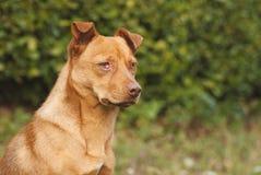Милая коричневая собака внешняя Стоковое Изображение RF