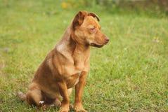 Милая коричневая собака внешняя Стоковая Фотография RF