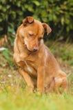 Милая коричневая собака внешняя Стоковое фото RF