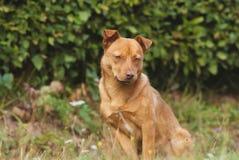 Милая коричневая собака внешняя Стоковое Фото