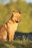 Милая коричневая собака внешняя Стоковые Изображения