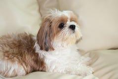 Милая коричневая собака Shih-Tzu Стоковые Изображения
