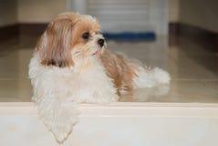 Милая коричневая собака Shih-Tzu Стоковые Фотографии RF