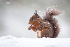 Милая красная белка в падая снеге, зима стоковое изображение