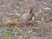 Милая красная белка есть плодоовощ яблока и представляя в парке Стоковые Изображения RF