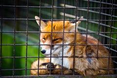 Милая красная лисица в клетке стоковые фото