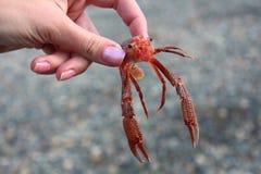Милая креветка в руках девушки Стоковые Изображения RF