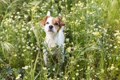 Милая малая молодая собака среди цветков и зеленой травы Весна Стоковая Фотография