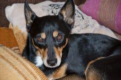 Милая малая черная собака на кровати Стоковое Фото