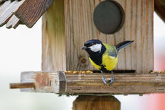 Милая маленькая большая птица синицы в желтом и черном цвете садясь на насест дальше Стоковое Изображение RF