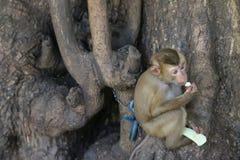 Милая маленькая обезьяна будучи приковыванным к дереву держа обгрызать свежий стоковые фото