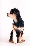 Милая маленькая собака на белой предпосылке на студии Стоковые Фотографии RF