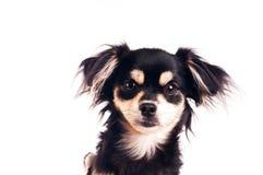 Милая маленькая собака на белой предпосылке на студии Стоковое Изображение