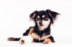 Милая маленькая собака на белой предпосылке на студии Стоковая Фотография RF
