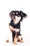 Милая маленькая собака на белой предпосылке на студии Стоковое Изображение RF