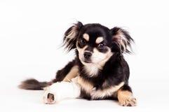 Милая маленькая собака на белой предпосылке на студии Стоковая Фотография