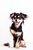 Милая маленькая собака на белой предпосылке на студии Стоковые Изображения