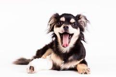 Милая маленькая собака на белой предпосылке на студии Стоковые Изображения RF