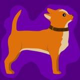 Милая маленькая собака чихуахуа Стоковое Изображение RF