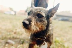 Милая маленькая черная пушистая собака от укрытия в поясе представляя снаружи Стоковые Фотографии RF