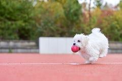Милая мальтийсная собака играя int он паркует Стоковое фото RF
