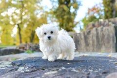 Милая мальтийсная собака сидя на утесе Стоковые Фото