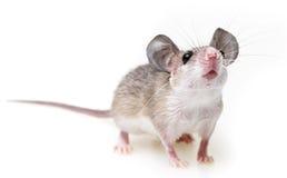 милая мышь стоковое изображение