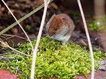 милая мышь Стоковые Изображения RF